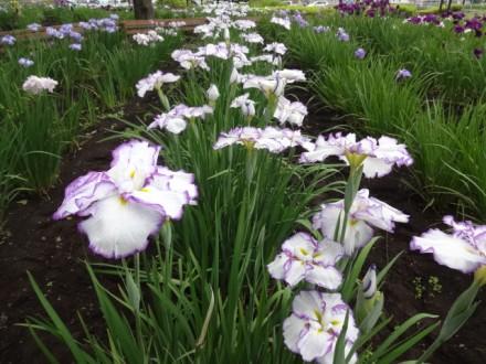 花菖蒲は芽室公園だね